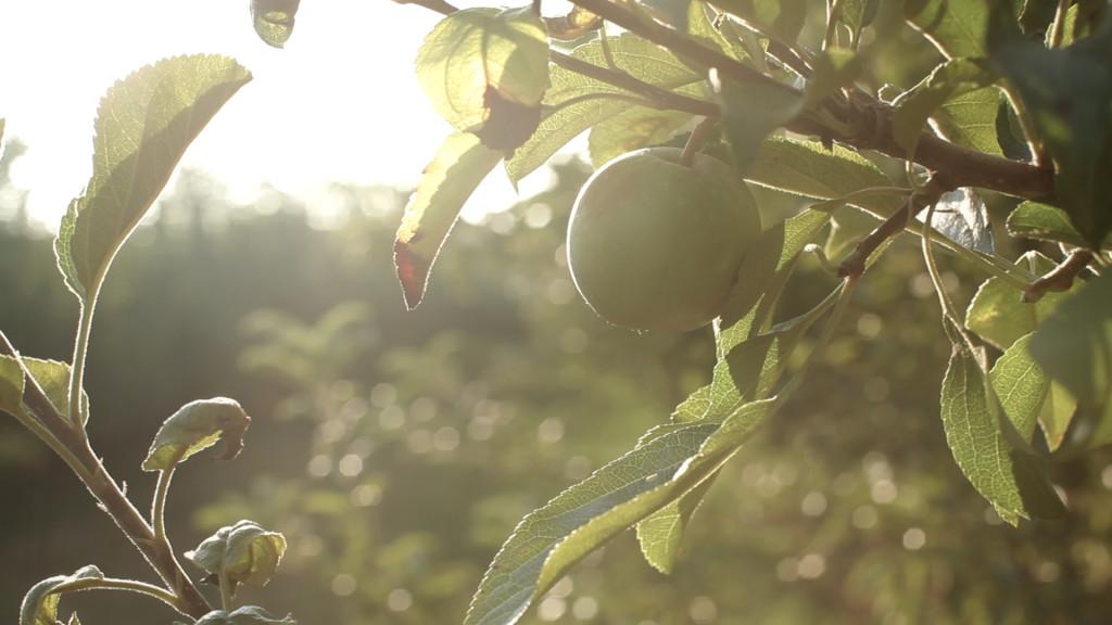 Apples Light